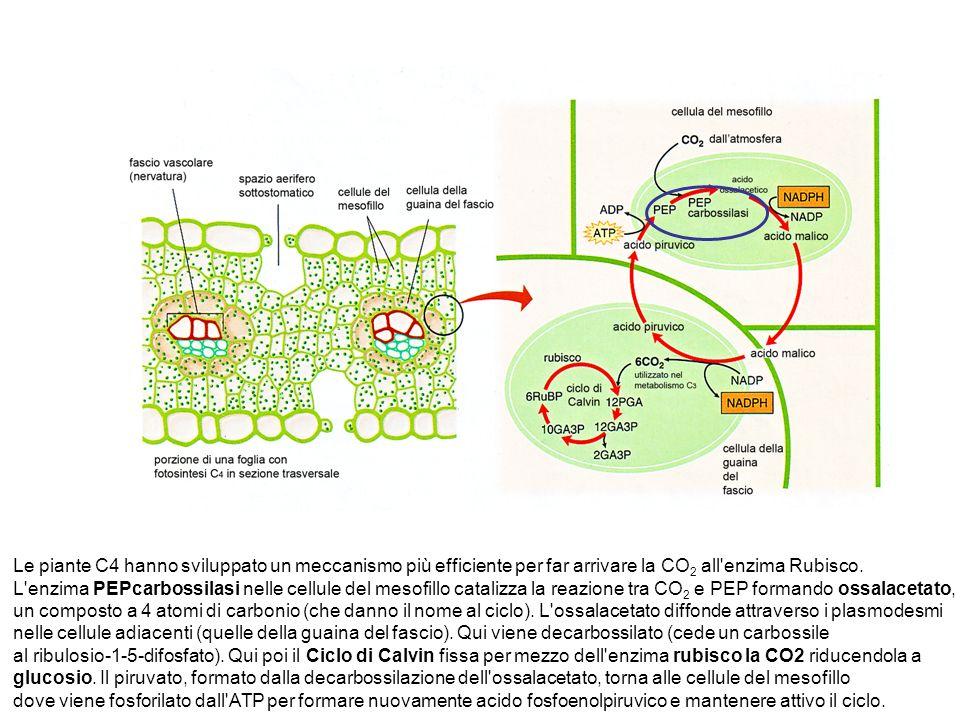 Le piante C4 hanno sviluppato un meccanismo più efficiente per far arrivare la CO2 all enzima Rubisco.