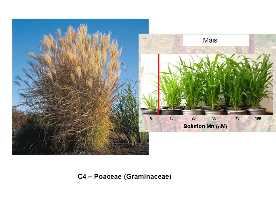 Mais C4 – Poaceae (Graminaceae)