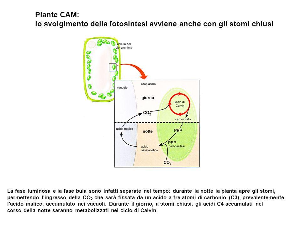 lo svolgimento della fotosintesi avviene anche con gli stomi chiusi