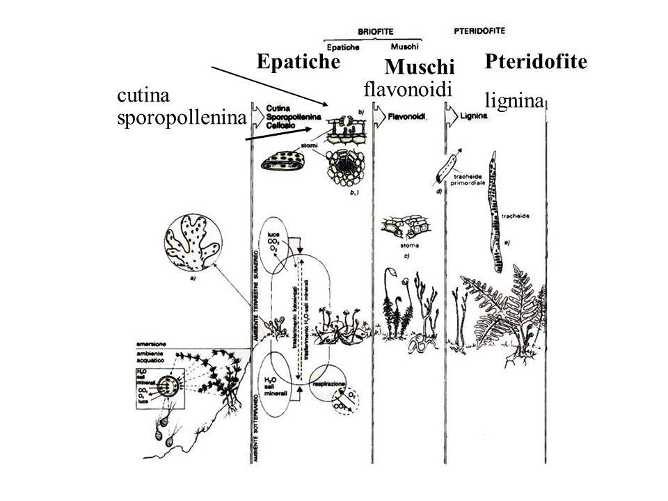 Epatiche Pteridofite Muschi flavonoidi cutina lignina sporopollenina