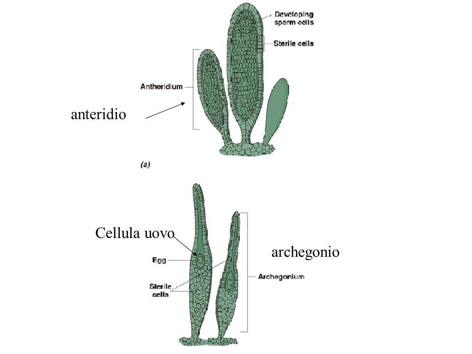 anteridio Cellula uovo archegonio