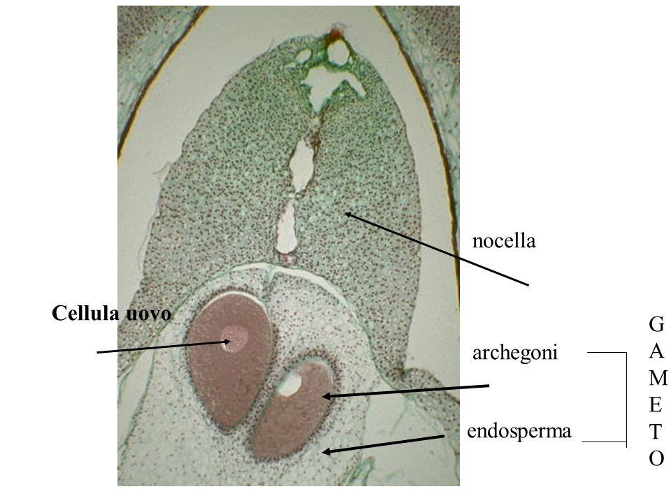 nocella Cellula uovo G A M E T O archegoni endosperma