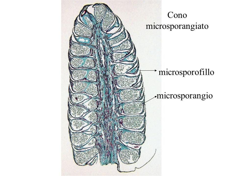 Cono microsporangiato microsporofillo microsporangio