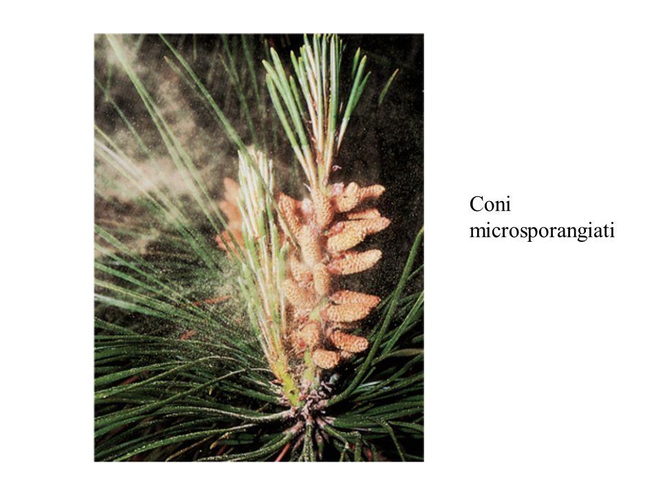 Coni microsporangiati