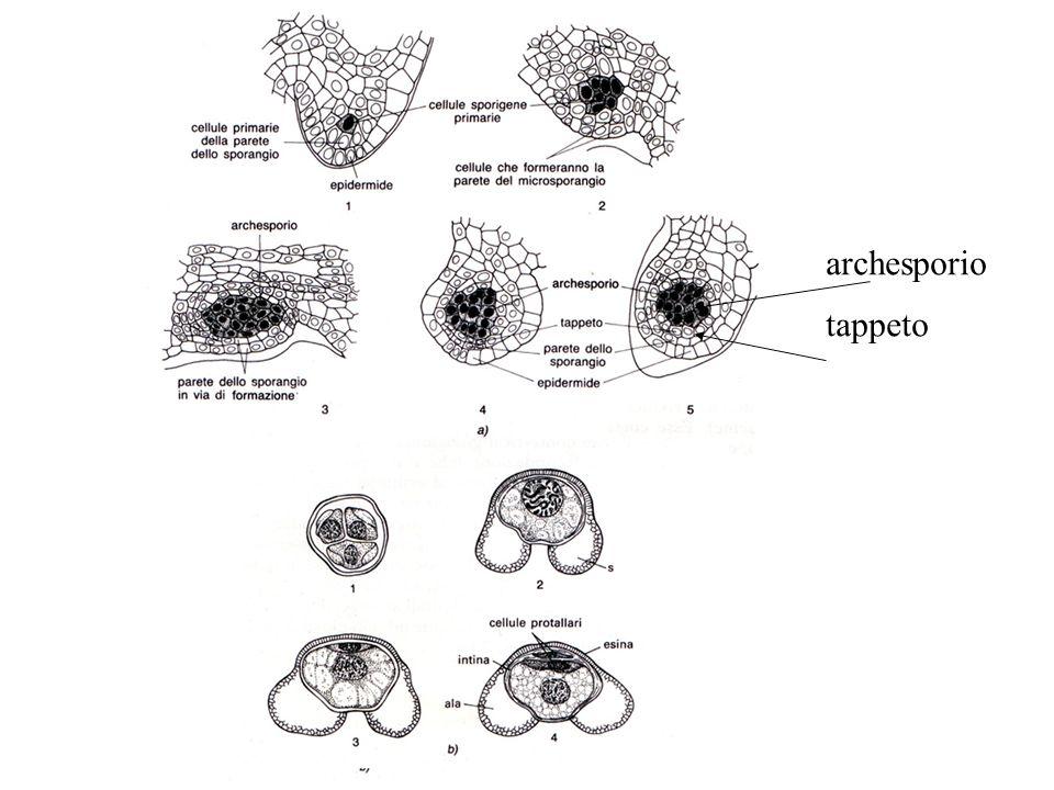 archesporio tappeto