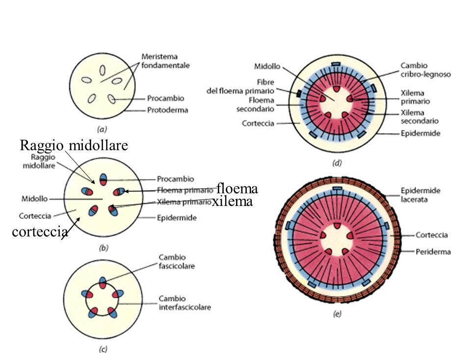 Raggio midollare floema xilema corteccia