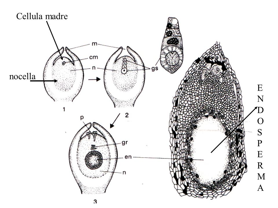 Cellula madre nocella E N D O S P R M A