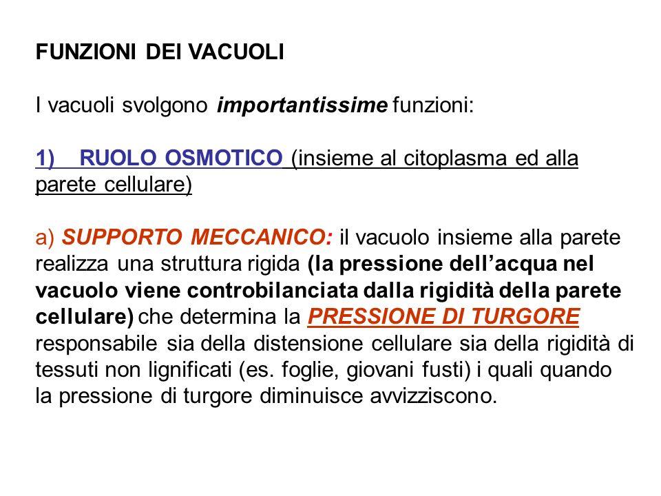FUNZIONI DEI VACUOLI I vacuoli svolgono importantissime funzioni: 1) RUOLO OSMOTICO (insieme al citoplasma ed alla parete cellulare)
