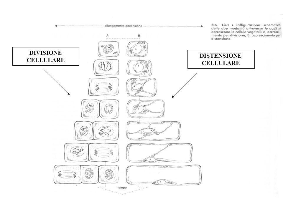 DISTENSIONE CELLULARE