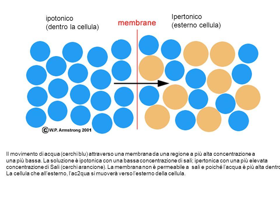 Ipertonico ipotonico (esterno cellula) (dentro la cellula)