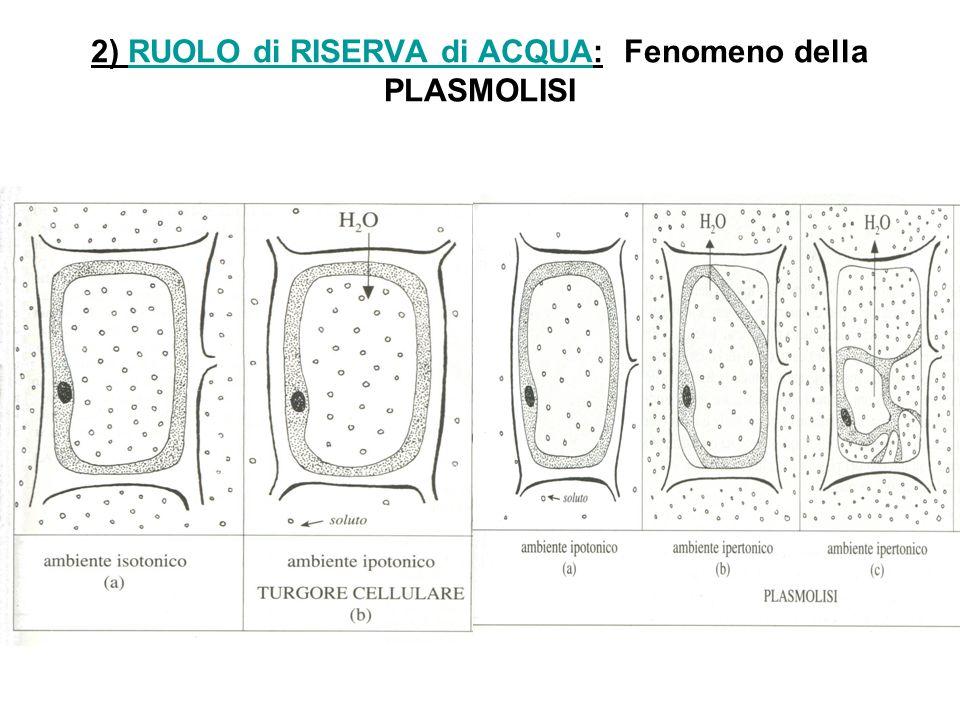 2) RUOLO di RISERVA di ACQUA: Fenomeno della PLASMOLISI