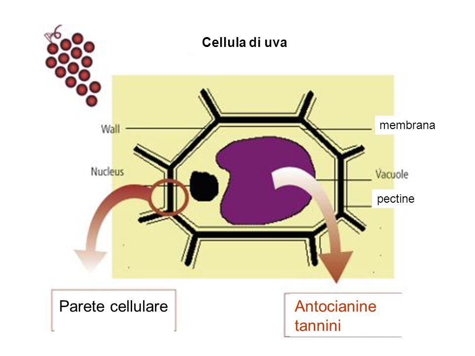 Cellula di uva membrana pectine Parete cellulare Antocianine tannini
