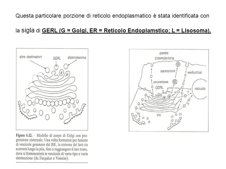 Questa particolare porzione di reticolo endoplasmatico è stata identificata con la sigla di GERL (G = Golgi, ER = Reticolo Endoplamstico; L = Lisosoma).
