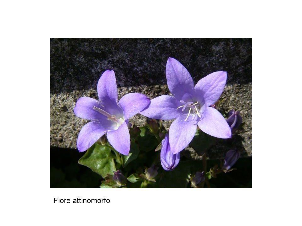 Fiore attinomorfo