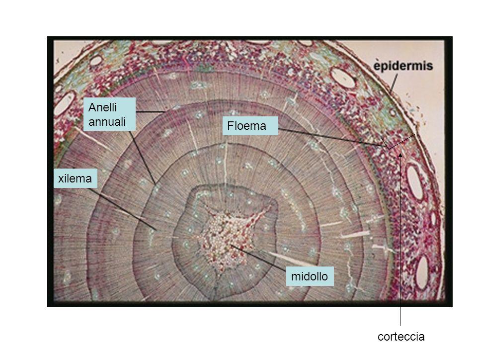 Anelli annuali Floema xilema midollo corteccia