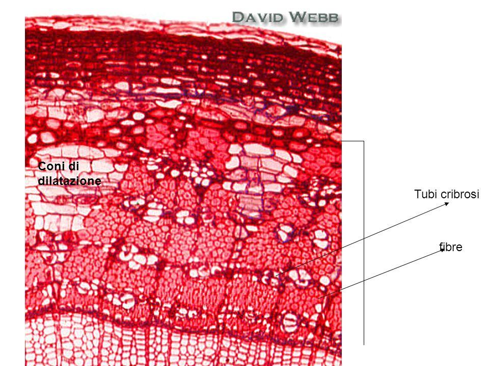 Coni di dilatazione Tubi cribrosi fibre