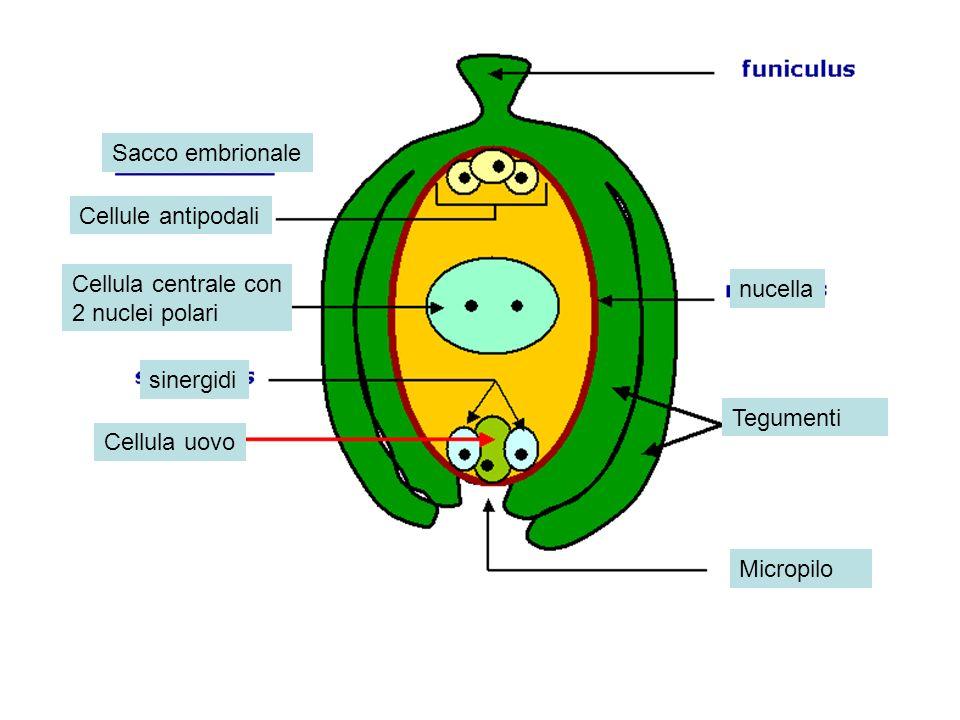 Sacco embrionale Cellule antipodali. Cellula centrale con. 2 nuclei polari. nucella. sinergidi.