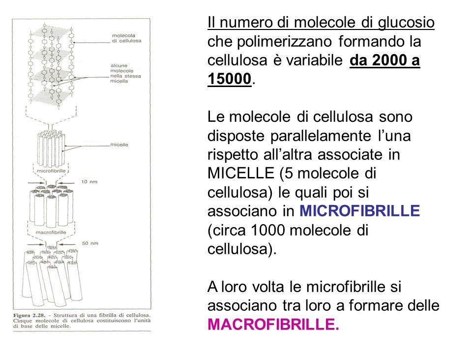Il numero di molecole di glucosio che polimerizzano formando la cellulosa è variabile da 2000 a 15000.