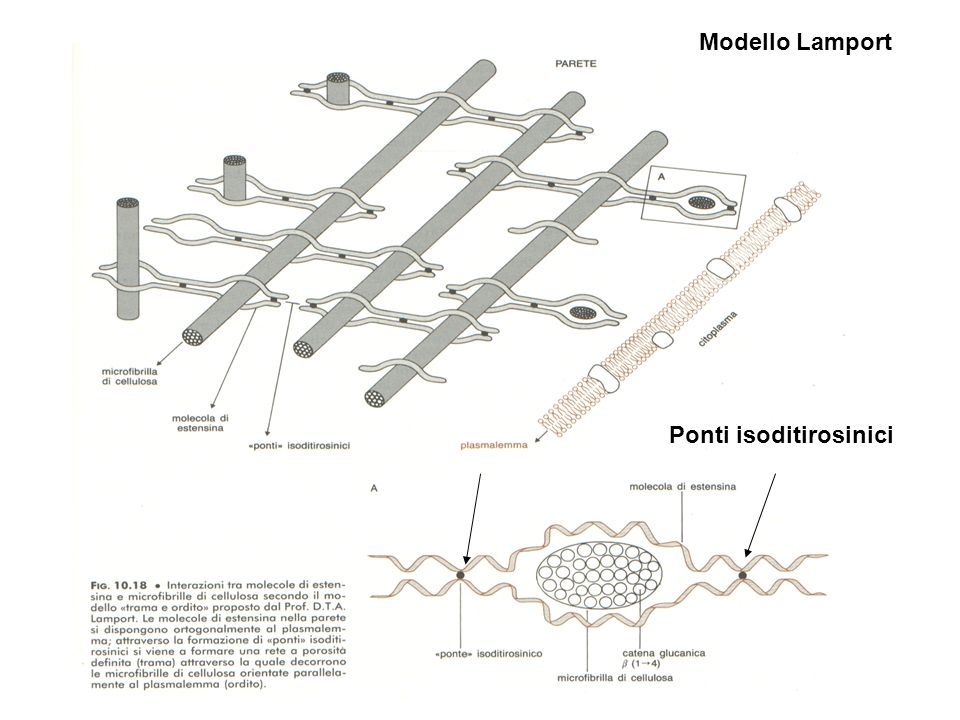 Modello Lamport Ponti isoditirosinici