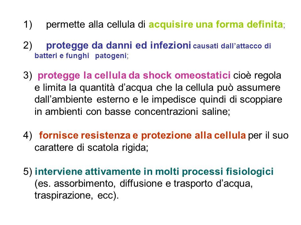 1) permette alla cellula di acquisire una forma definita;