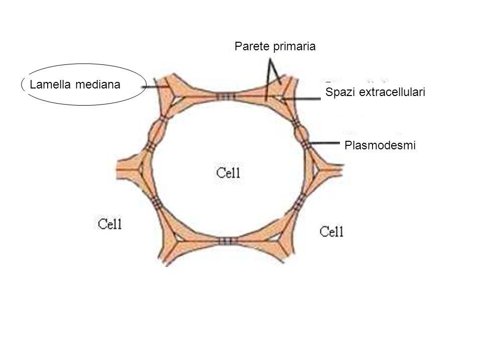Parete primaria Lamella mediana Spazi extracellulari Plasmodesmi
