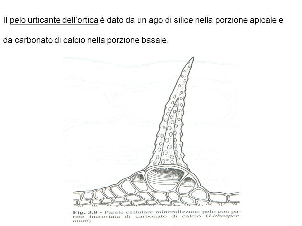 Il pelo urticante dell'ortica è dato da un ago di silice nella porzione apicale e da carbonato di calcio nella porzione basale.