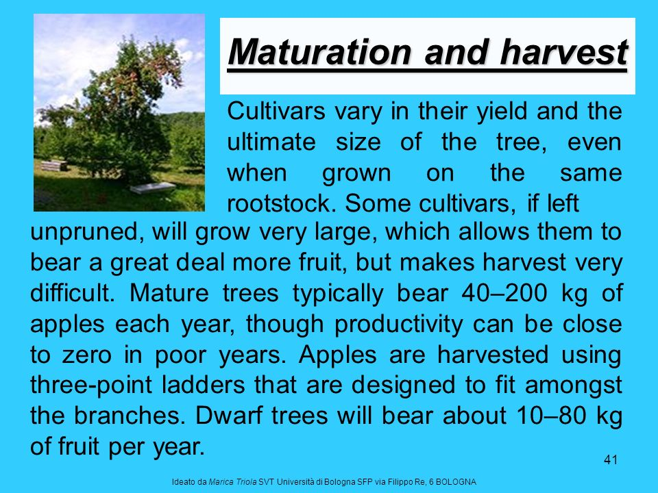 Maturation and harvest