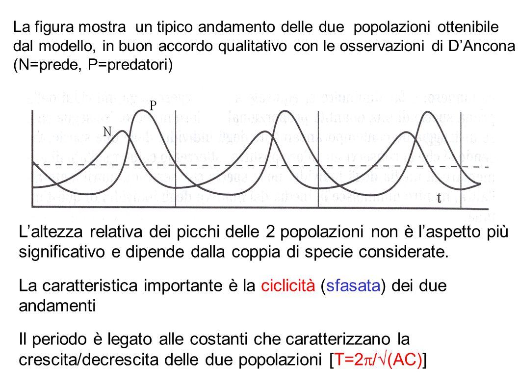 La figura mostra un tipico andamento delle due popolazioni ottenibile dal modello, in buon accordo qualitativo con le osservazioni di D'Ancona (N=prede, P=predatori)