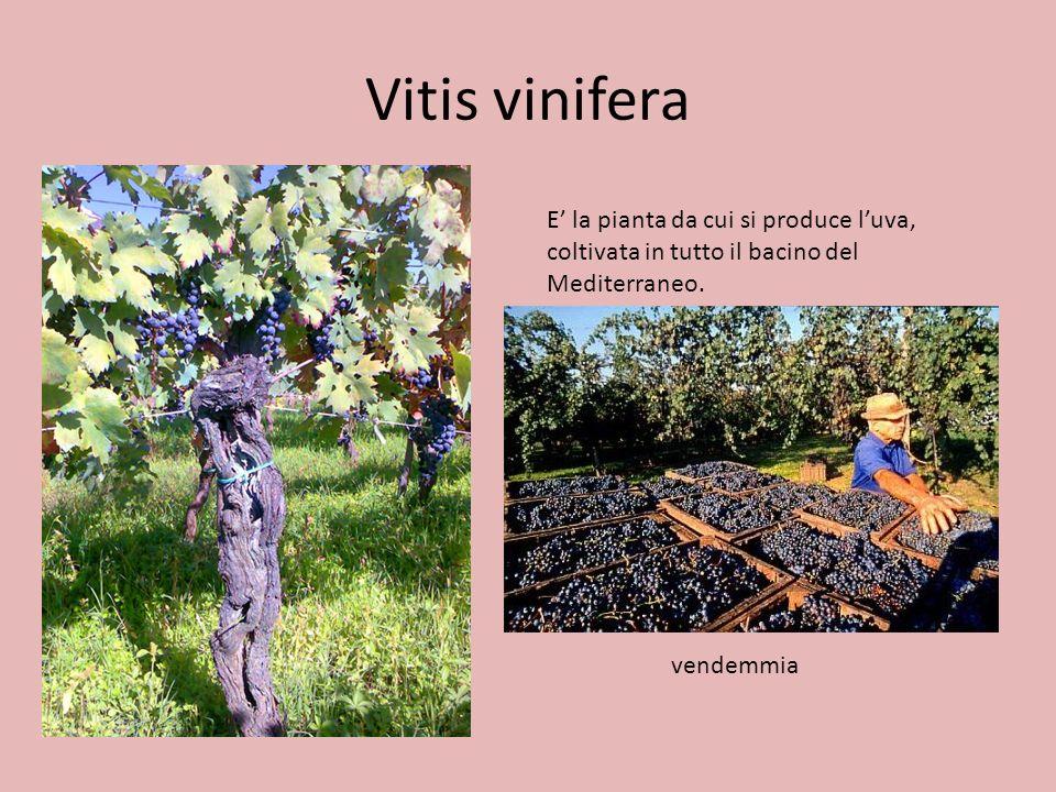 Vitis vinifera E' la pianta da cui si produce l'uva, coltivata in tutto il bacino del Mediterraneo.