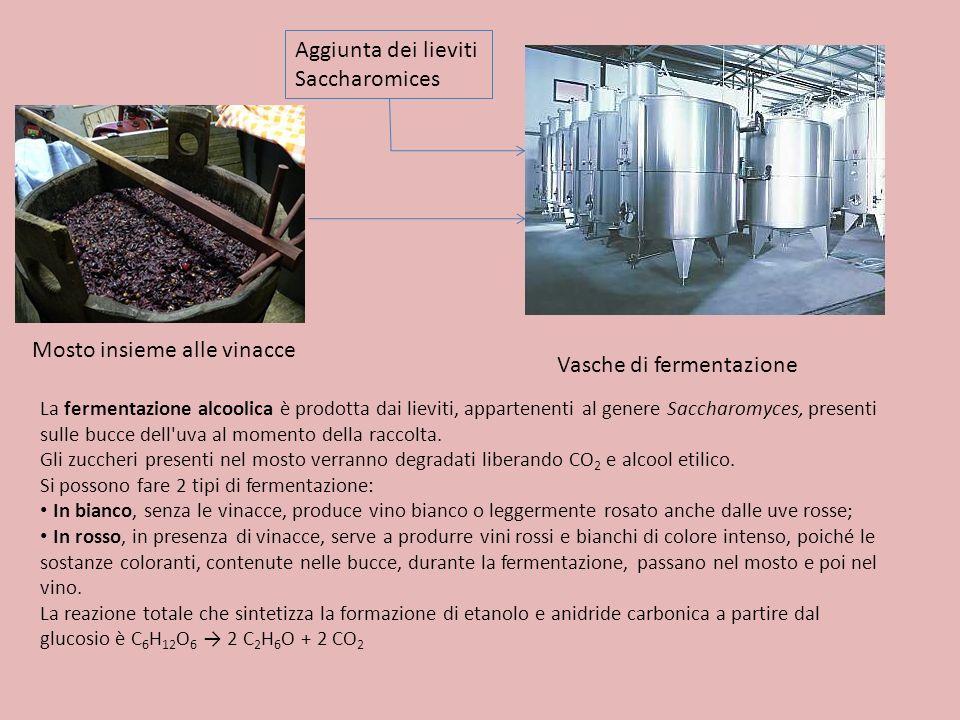 Mosto insieme alle vinacce Vasche di fermentazione