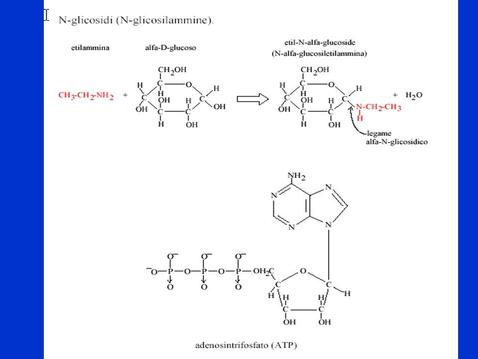Importanti N glicosidi sono: i NUCLEOSIDI, NUCLEOTIDI e nell'ATP