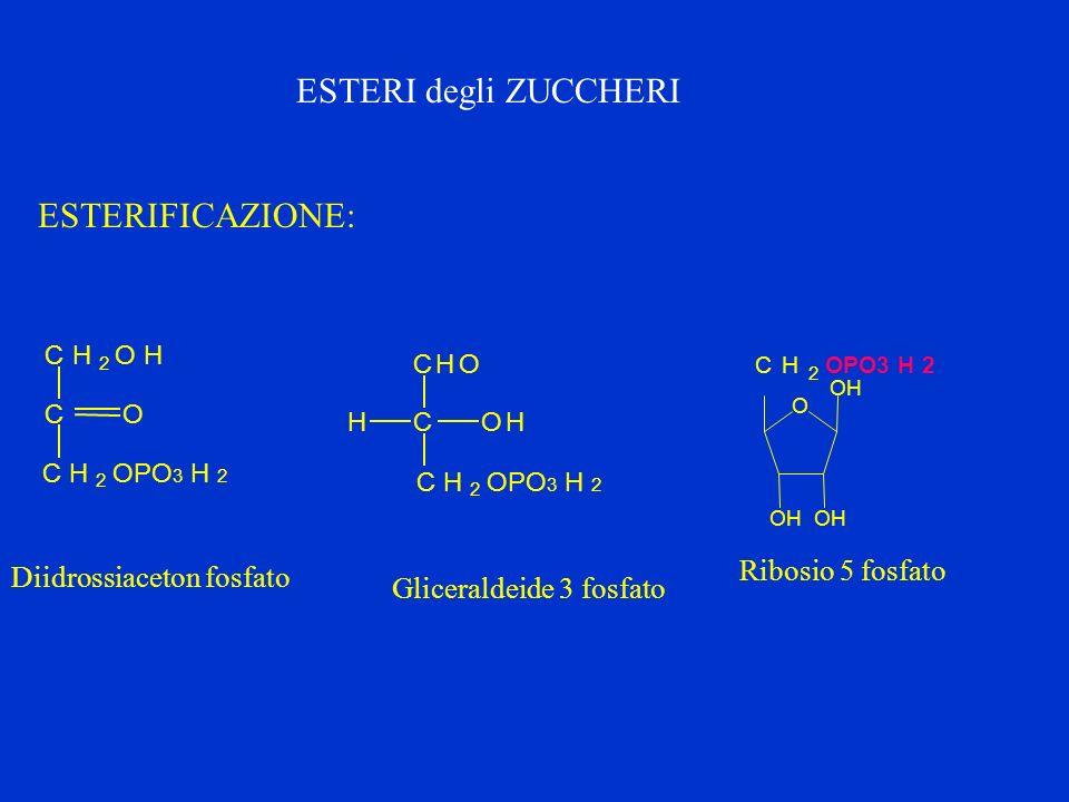 ESTERI degli ZUCCHERI ESTERIFICAZIONE: Ribosio 5 fosfato