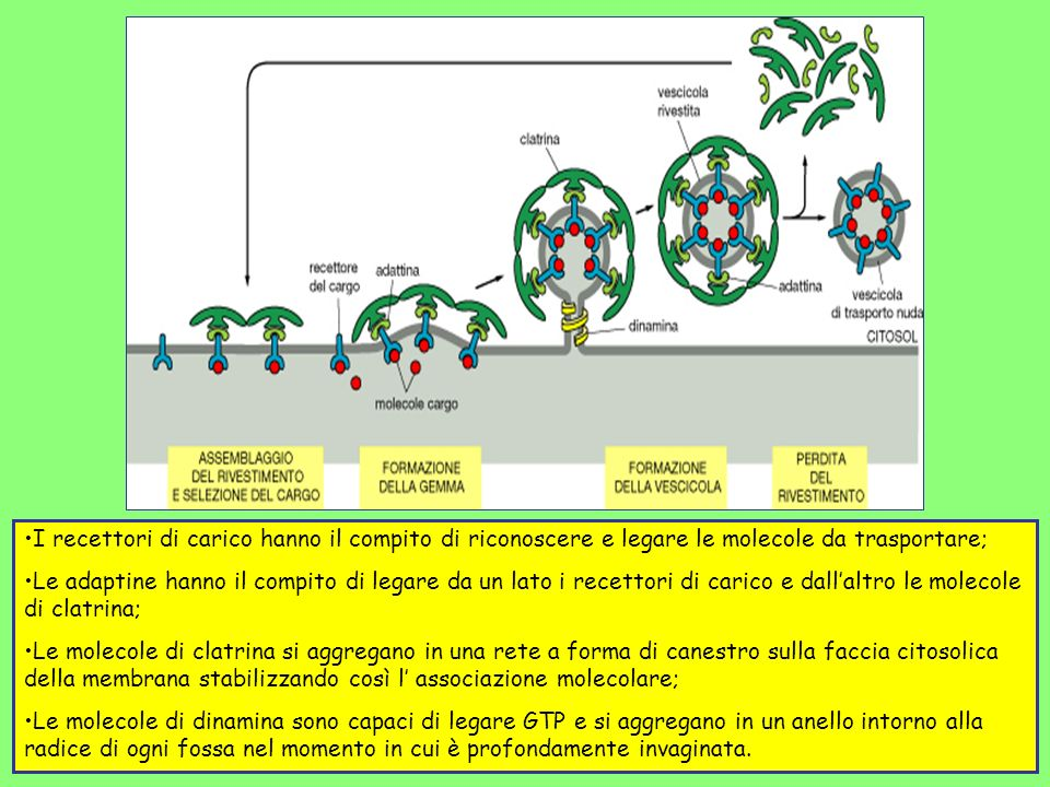 I recettori di carico hanno il compito di riconoscere e legare le molecole da trasportare;