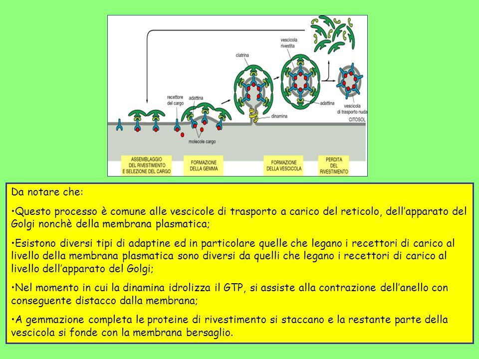 Da notare che: Questo processo è comune alle vescicole di trasporto a carico del reticolo, dell'apparato del Golgi nonchè della membrana plasmatica;