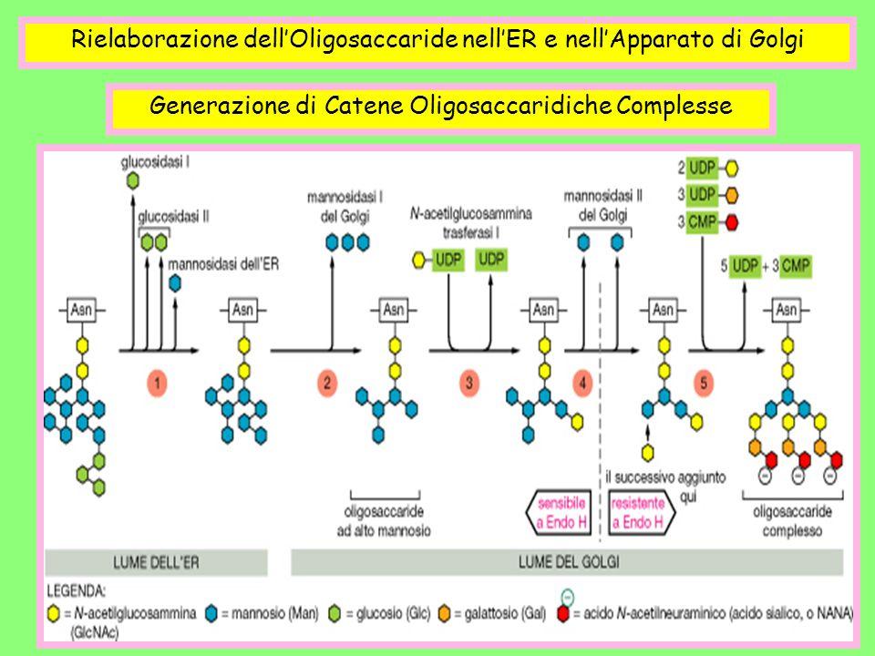 Rielaborazione dell'Oligosaccaride nell'ER e nell'Apparato di Golgi