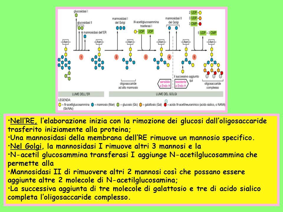Nell'RE, l'elaborazione inizia con la rimozione dei glucosi dall'oligosaccaride trasferito iniziamente alla proteina;