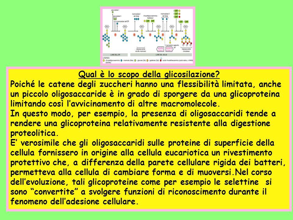 Qual è lo scopo della glicosilazione