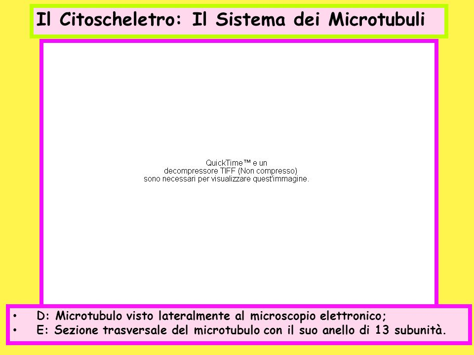 Il Citoscheletro: Il Sistema dei Microtubuli