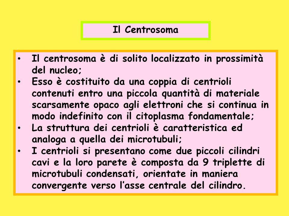 Il Centrosoma Il centrosoma è di solito localizzato in prossimità del nucleo;