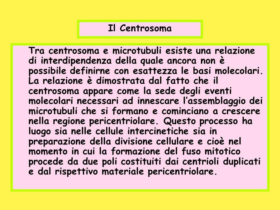 Il Centrosoma