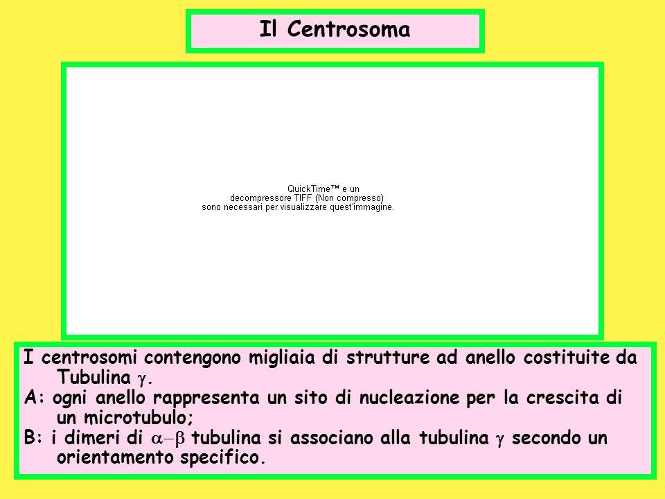 Il Centrosoma I centrosomi contengono migliaia di strutture ad anello costituite da Tubulina g.
