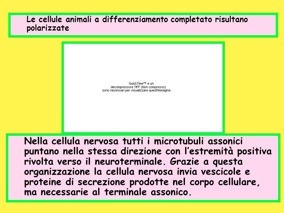 Le cellule animali a differenziamento completato risultano polarizzate