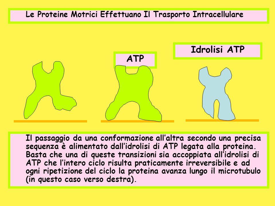 Le Proteine Motrici Effettuano Il Trasporto Intracellulare