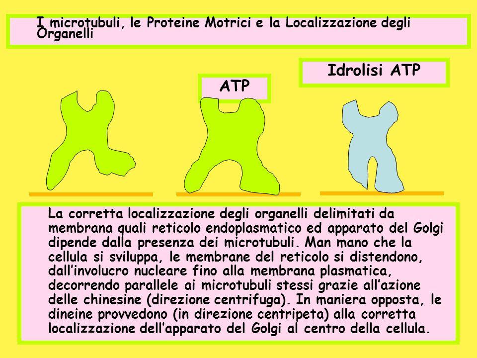 I microtubuli, le Proteine Motrici e la Localizzazione degli Organelli