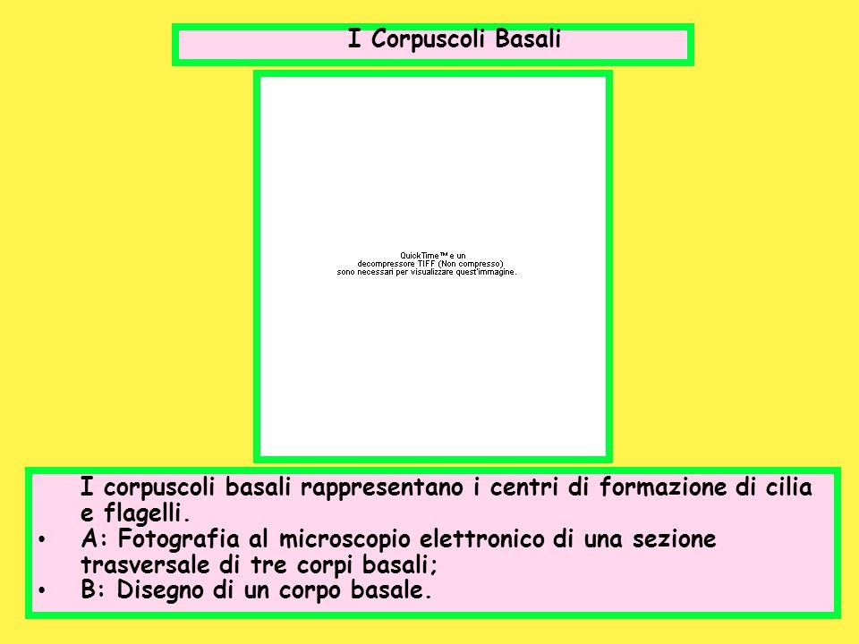 I Corpuscoli Basali I corpuscoli basali rappresentano i centri di formazione di cilia e flagelli.