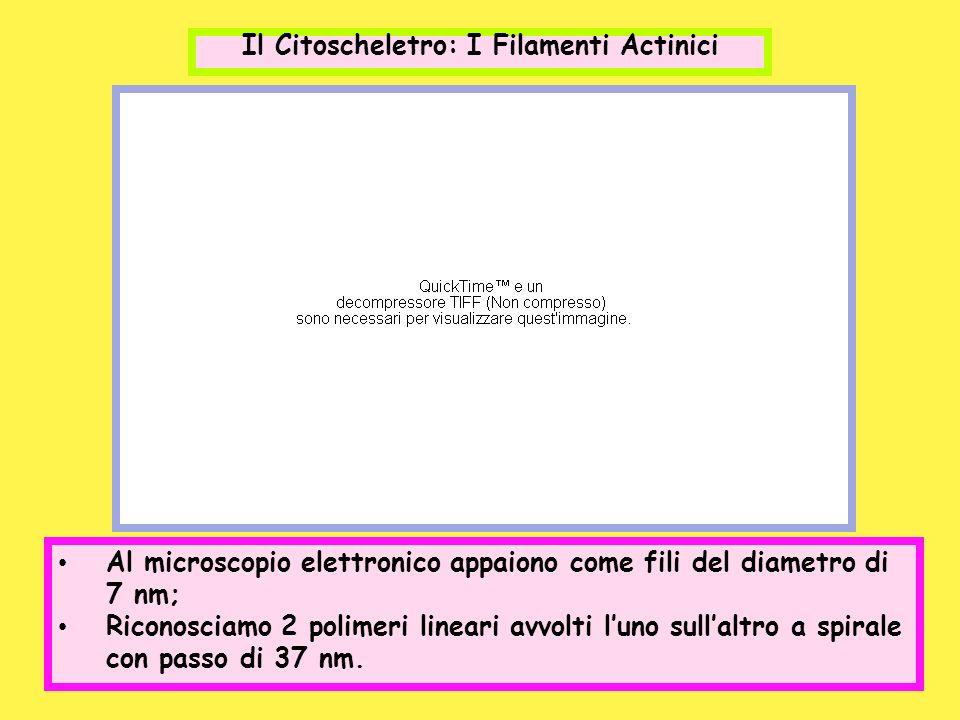 Il Citoscheletro: I Filamenti Actinici