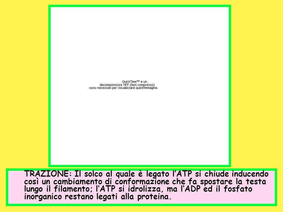 TRAZIONE: Il solco al quale è legato l'ATP si chiude inducendo così un cambiamento di conformazione che fa spostare la testa lungo il filamento; l'ATP si idrolizza, ma l'ADP ed il fosfato inorganico restano legati alla proteina.