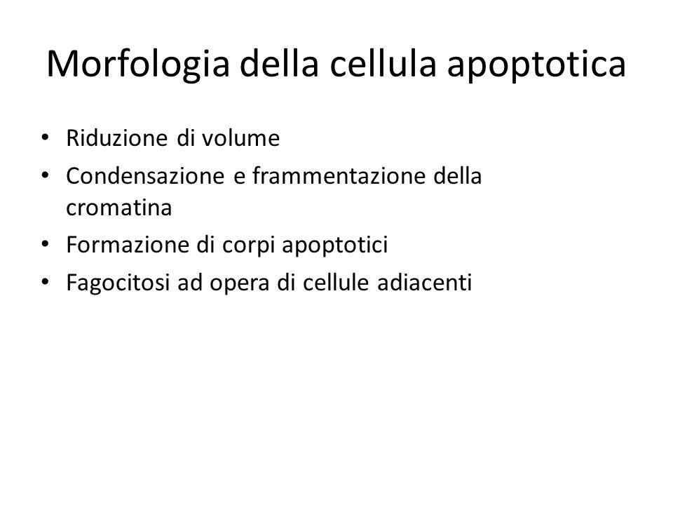 Morfologia della cellula apoptotica