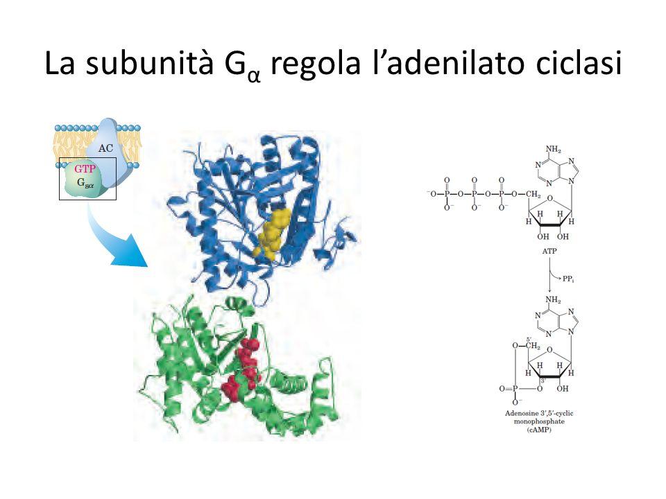 La subunità Gα regola l'adenilato ciclasi