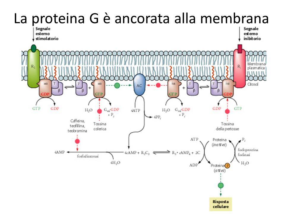 La proteina G è ancorata alla membrana